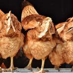 Comment bien élever une poule ?