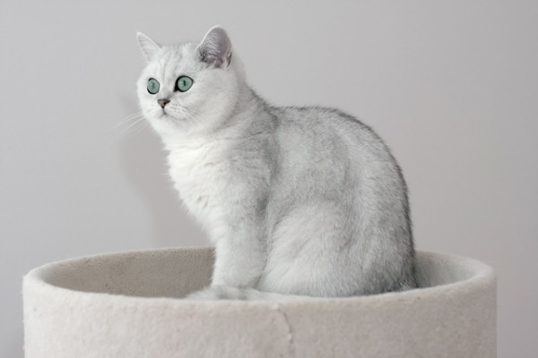 British Shorthair snow