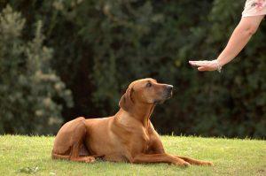 Dressage de chien, la bonne méthode à appliquer